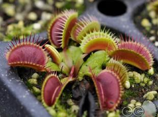 食虫植物-花市红捕蝇草(S)苗|盆栽|花卉|食虫草|另类宠物,宠物用品,