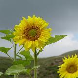 盛開的向日葵
